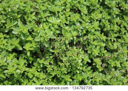 Boxwood (Buxus) - woody plant ornamental shrub