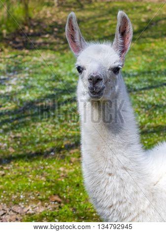 White llama (Lama glama) cria portrait with grass background