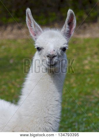 White llama (Lama glama) cria portrait with green background