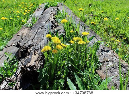 dandelions are growing through the railroad ties