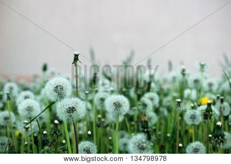field of withered dandelion on a pink background