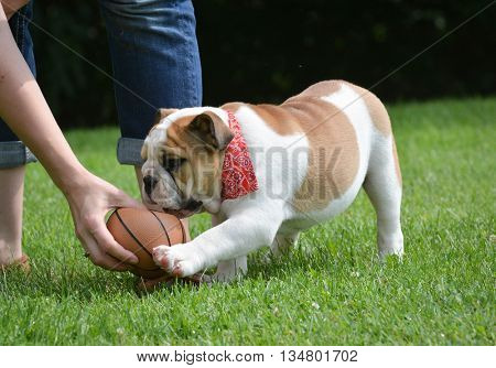 english bulldog playing ball outide in the grass
