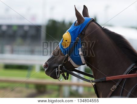 Horse with Blue and Yellow Blinkers and leather bridle