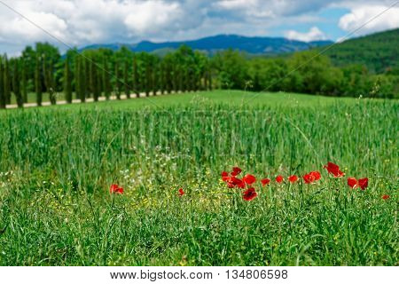 Grass field with poppies in Italy, Toscana