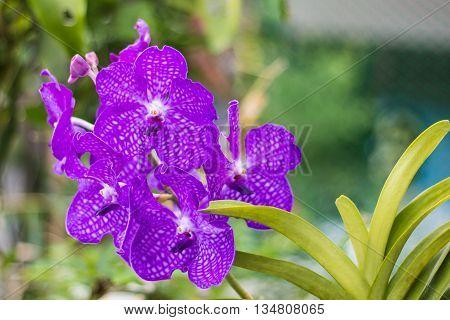 Beauty purple vanda orchid flower , nature
