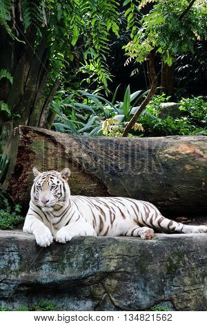 White tiger resting on a rock feeling depressed