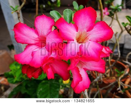 Beautiful pink impala flower in flowerpot with blur background
