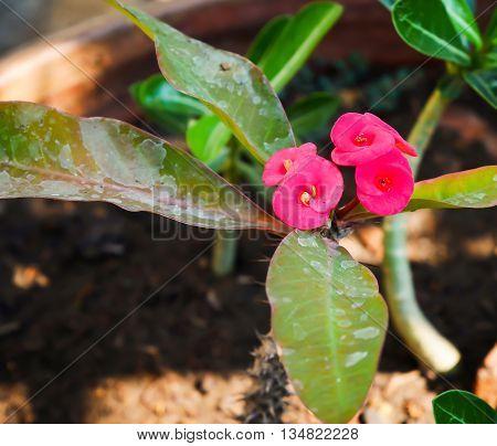 Focus Euphorbia milli flower on flowerpot with copy space