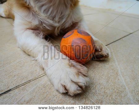 Focus cute dog foot worried play ball