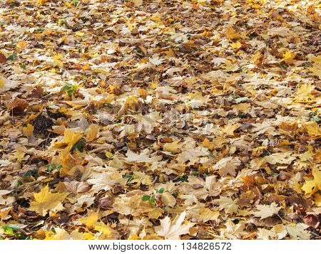 abstract background of yellow fallen autumn leaves