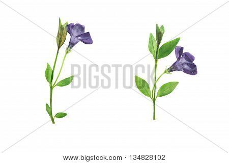 Pressed and dried dark purple flowers and green leaves forest violets. Isolated on white background. For use in scrapbooking pressed floristry (oshibana) or herbarium.