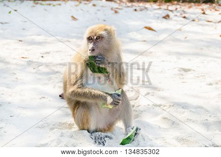 Monkey ate watermelon rind on the beach