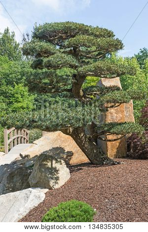 Shaped pine tree in the Japanese garden. Wooden bridge in the background. Vertically.