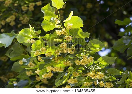color linden branch in the summer in the garden against the sky