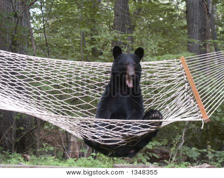 Sleepy Black Bear In Hammock