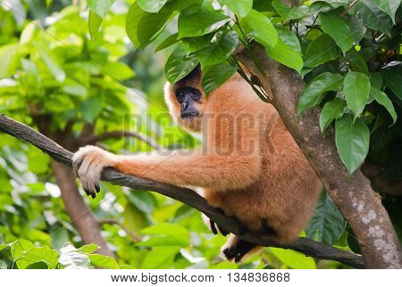 Yellow cheeked gibbon female in Singapore zoo.