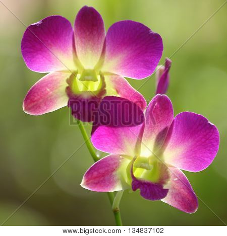 two backlit Dendrobium Orchids on tree near Songkhla, Thailand