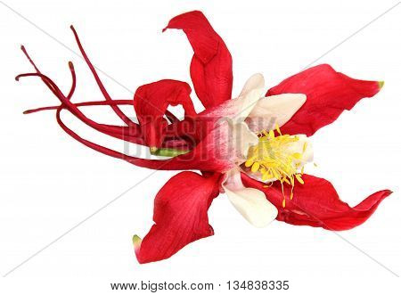 large red and white flowers royal Aquilegia isolated on white background. Isolated blossom of Columbine flower