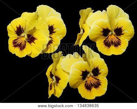 pansies pansy heartsease love-in-idleness kiss-me-quick flower light liquid bright flower perspective fresh delicate flowers and petals isolated on black background scrapbook