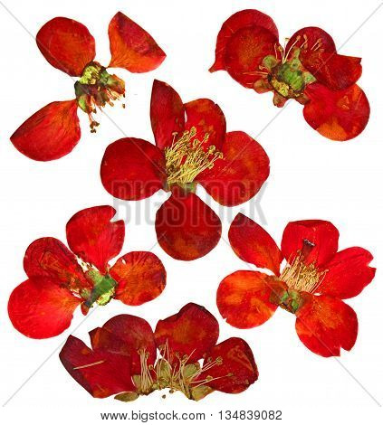 Pressed and dried flowers and petal of quince blossom of large red flowers of japonica chaenomles isolated on white scrapbook background