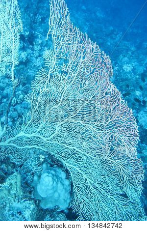 great gorgonian at the bottom of tropical sea at great depths underwater.