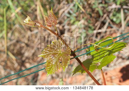Young grape leaves in the vineyard. Growing grapes in the vineyard. Growing wine for sale. Young grapes on the vine.