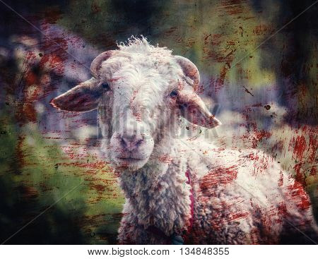 Portrait of sheep in a meadow with blood stains. Photos in a grunge style.