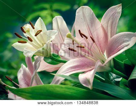 Lily flower close up - beautiful  lily flower in flower garden