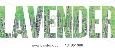 Lavender Field in the summer, written text, headline