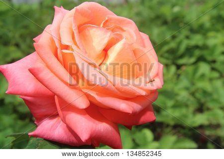 perennial, garden, plant, flowers, stamen, flower, garden, rose
