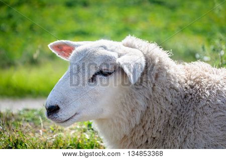 Portrait of a shyly posing adult sheep from sideways. The sheep looks very pretty and cuddly with its soft fur.