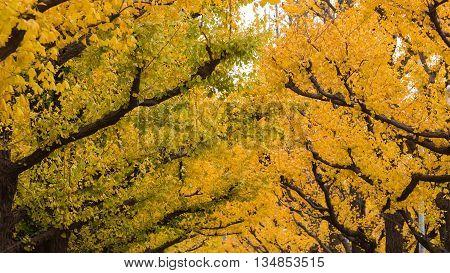 Golden yellow ginkgo trees in autumn season, Tokyo Japan