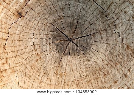 slice from a fir tree of old wood texture for background design nature.