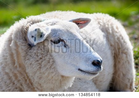 Portrait of an adult sheep from sideways. The sheep looks very pretty and cuddly with its soft fur.