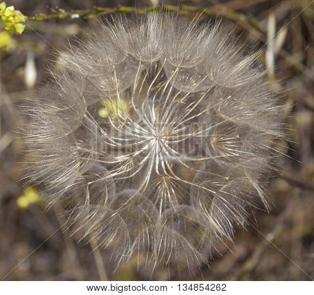 natural background of ripe goats beard plant seedhead