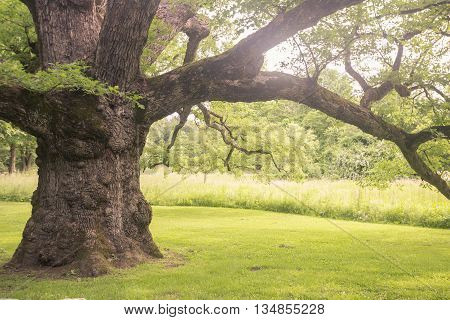 Toned image of 500 year old oak tree in Bedford New York