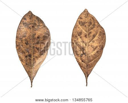 Close up dry leaf isolated on white background