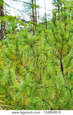 Siberian dwarf pine in Yakutian taiga. Russia Eastern Yakutia a ridge of Suntar-khayata river Suntar.
