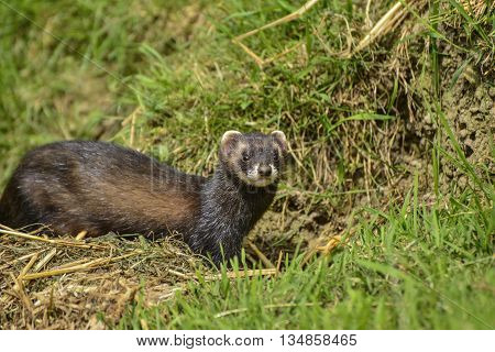 Beautiful Female Jill Polecat Mustelinae Putorius Outside Her Burrow