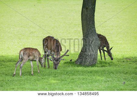 Red Deer Herd Cervus Elaphus Grazing In Field Near Tree