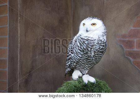 Snowy owl stands on grass arch with one leg