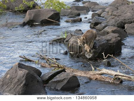 Lynx jumping across rocks in a swiftly flowing river