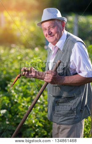 Senior man holding carrot in vegetable garden