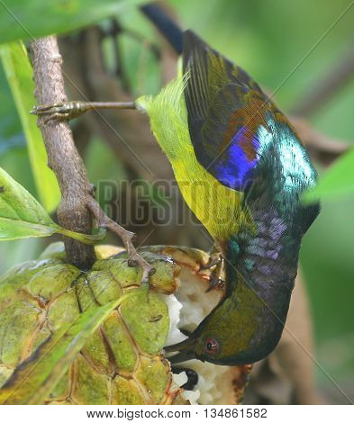 male Brown-throated Sunbird eating fruit, Songkhla, Thailand