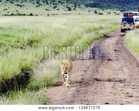 Lovely lioness walking on the road in savannah in Tarangire, Tanzania