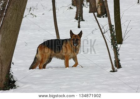 Beautiful German Shepherd proudly observing environment in public park