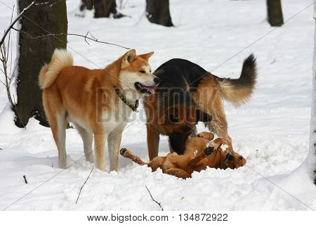 Akita Inu and German Sheperd playing with mongrel dog in public park
