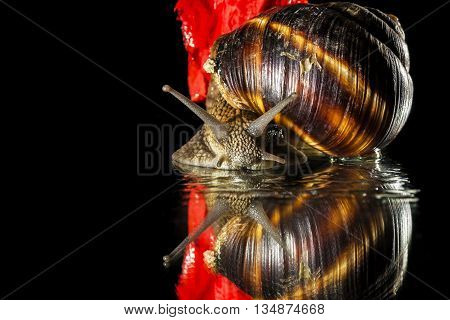 Snail and poppy  flower isolated  on black background