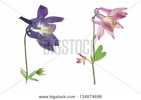 Pressed and dried blue pink flowers aquilegia vulgaris. Isolated on white background. For use in scrapbooking pressed floristry (oshibana) or herbarium.