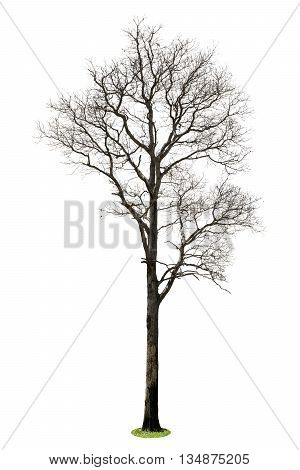Dead tree isolated on white background, element of landscape with dead tree